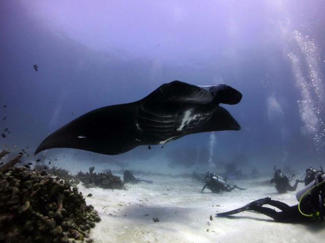 manta with divers