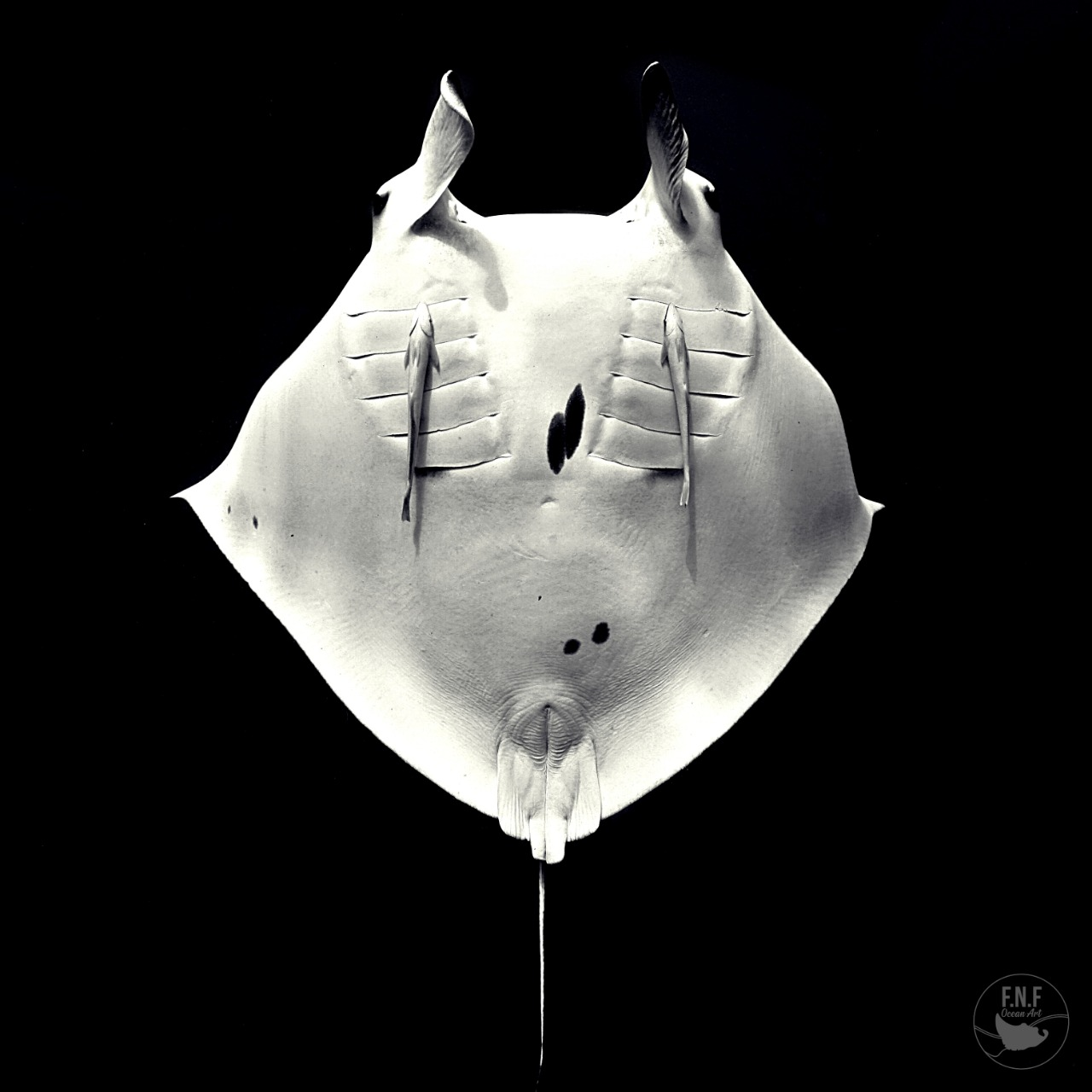 Rob's Manta Ray Research