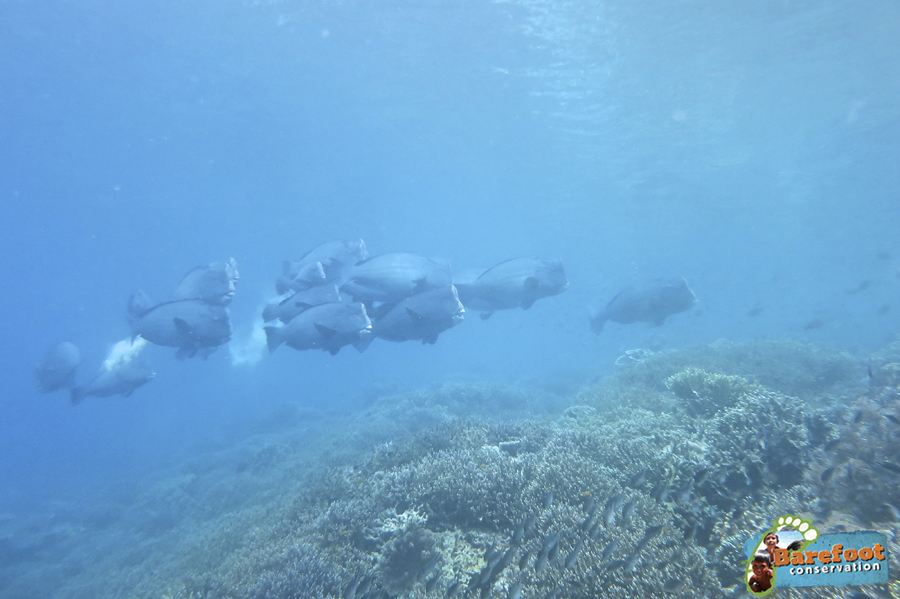 Bumphead Parrotfish of Raja Ampat