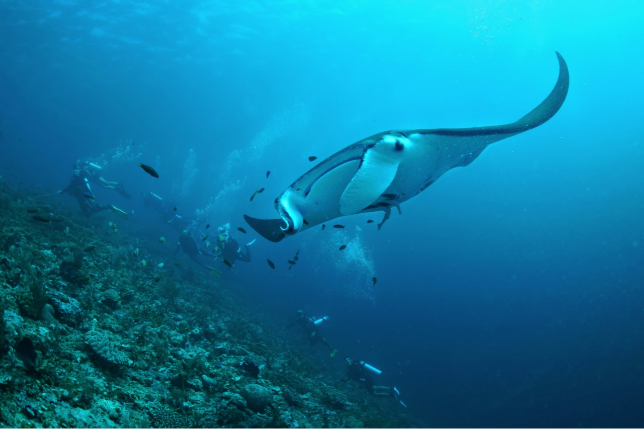 Guests diving with Manta Rays at Blue Magic