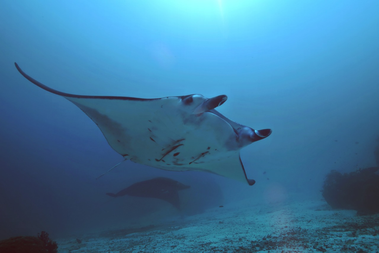 Manta Ray showing its belly for ID shot