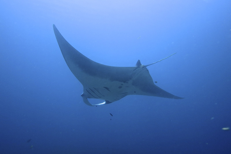 Manta Ray at Blue Magic dive site