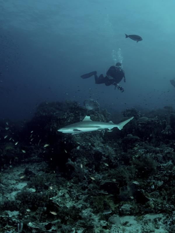 Cape Kri diving with Black Tip Reef Sharks
