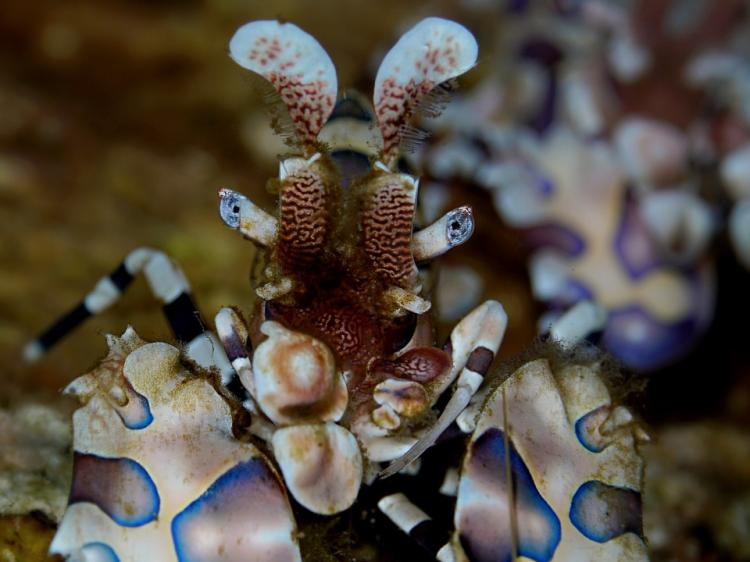 Mantis Shrimp found during a dive