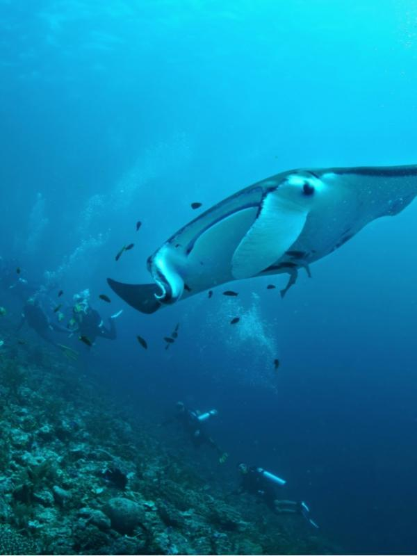Volunteers diving with Manta Rays